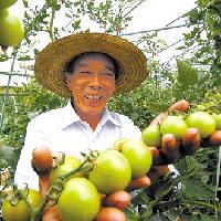 鄂城新區引進以色列生態西紅柿種植技術