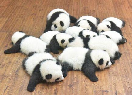 13只大熊猫宝宝亮相成都繁育基地 萌萌哒惹人爱