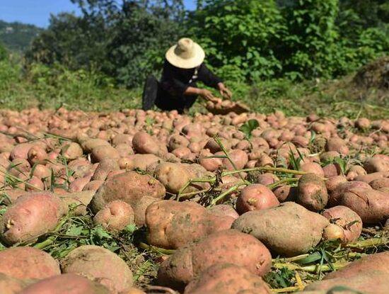 湖北恩施:富硒土豆豐收
