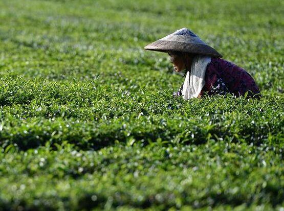 湖北恩施:茶農搶採立秋茶