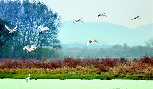 白天鵝遷徙京山越冬