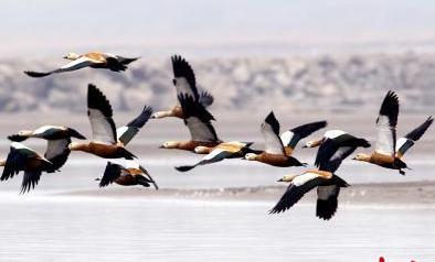 湖北潛江迎來大批候鳥集群越冬