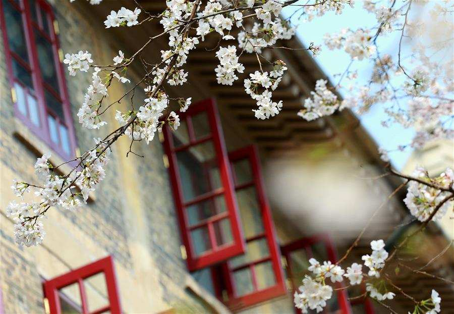 武漢大學櫻花綻放