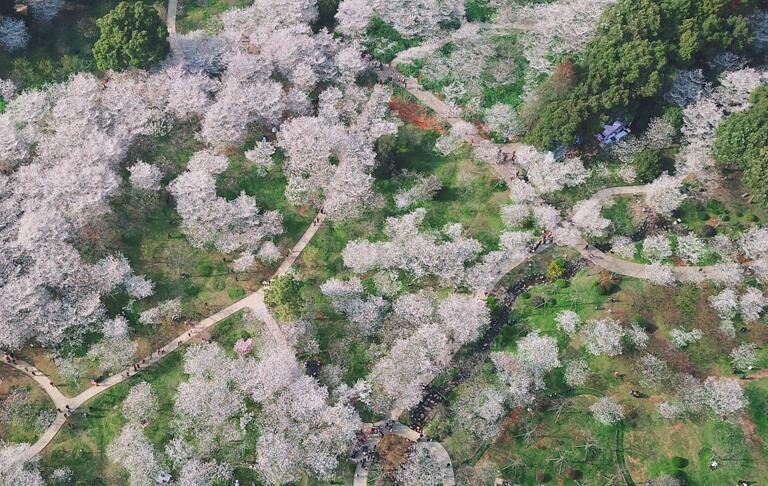 航拍武漢東湖櫻花園進入盛花期 賞櫻正當時