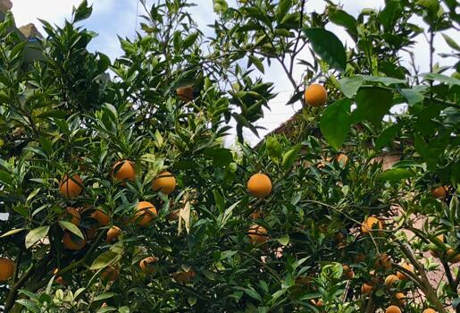 春橙採摘季來臨 水田壩果香濃