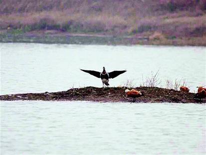 府河濕地首現紅胸黑雁 武漢記錄到鳥類種類達407種