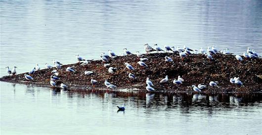 萬只紅嘴鷗棲息長湖