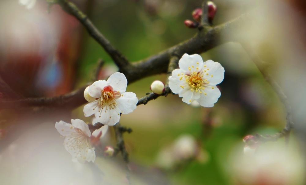 武漢東湖:梅開春意濃