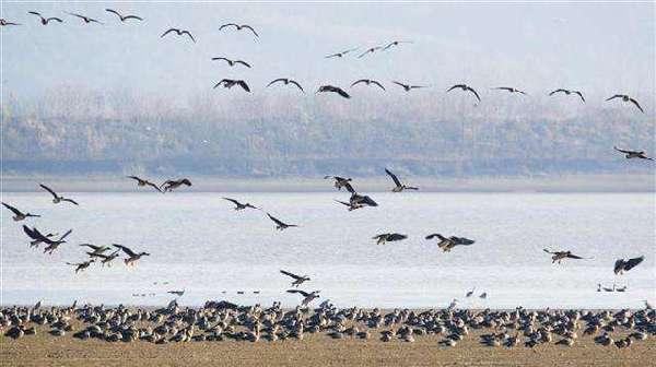 湖北:越冬水鳥同比增加13種 紅胸黑雁首次被記錄到