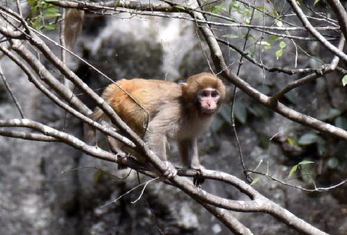 神農架首次在陽日鎮武山湖發現野生獼猴