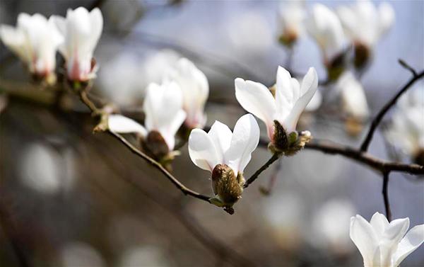 玉蘭花開俏爭春