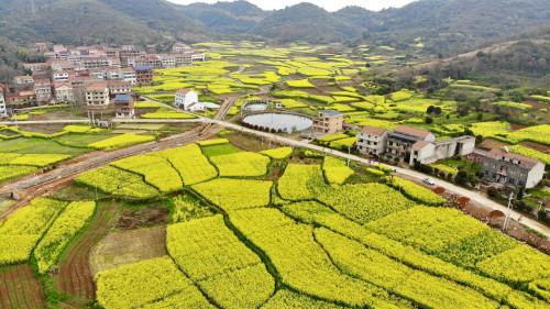 新華網直播:武穴市第七屆油菜花海壟上行活動