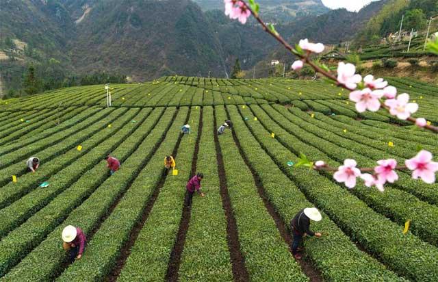 湖北秭歸:絲綿茶香助增收