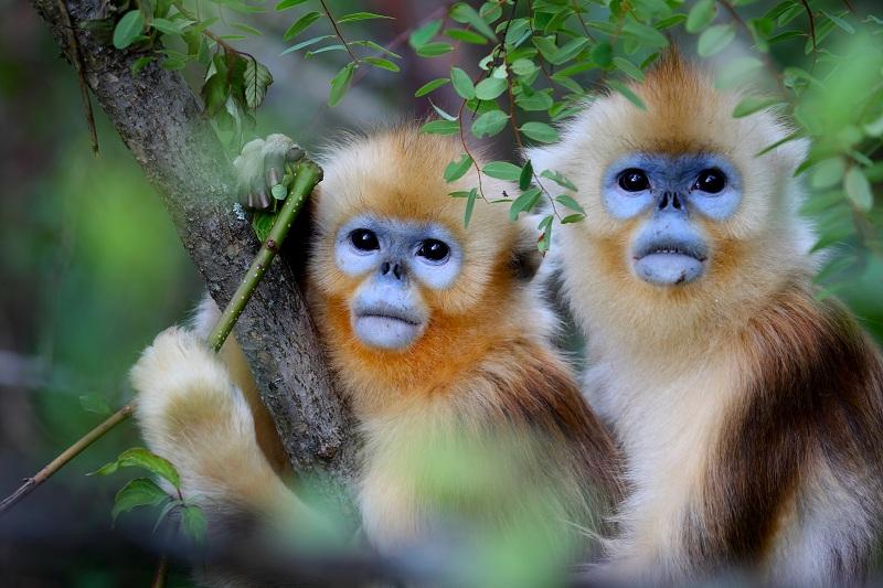 神農架林區金絲猴數量突破1300只