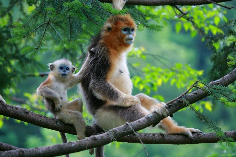 國際珍稀動物保護日丨走進神農架金絲猴