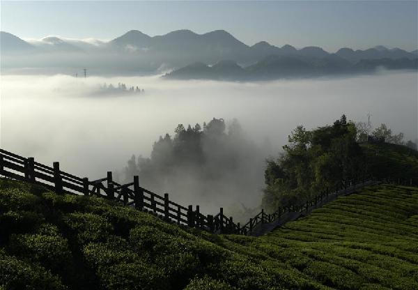 湖北恩施:霧鎖茶園似仙境