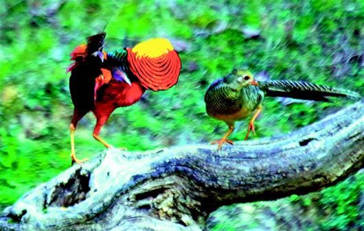一諾十載守護野生紅腹錦雞 護鳥人梅宴生的故事