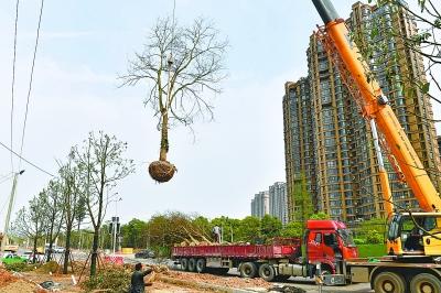 4萬株補植大樹為武漢撐起綠傘
