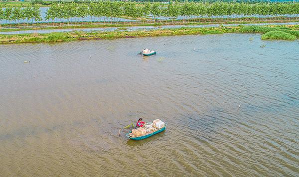 潛江:勞作的蝦農