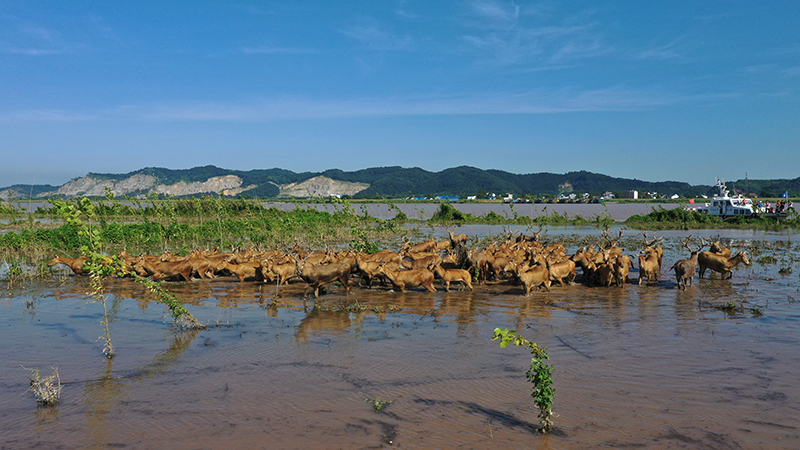 百余頭野生麋鹿集聚湖北監利安全度汛