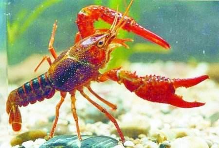 中美代表在漢共謀小龍蝦産業合作