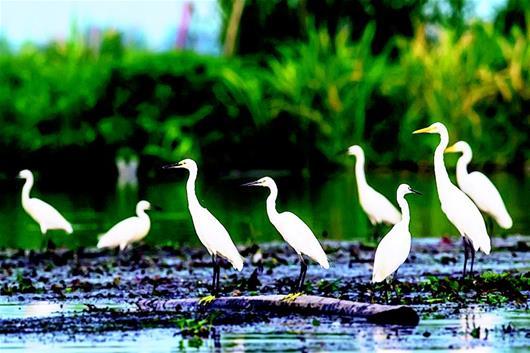 3萬多只夏候鳥棲息洪湖濕地