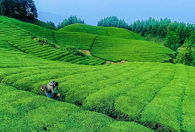 """鶴峰位居""""中國之中"""" 生態環境好茶葉品質好"""
