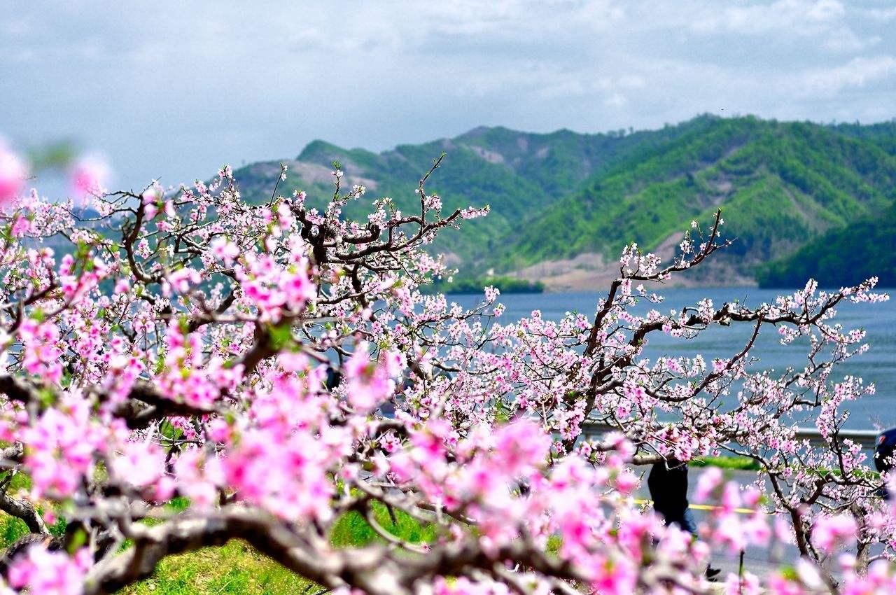 湖北隨州:桃花灼灼開 春光入畫來