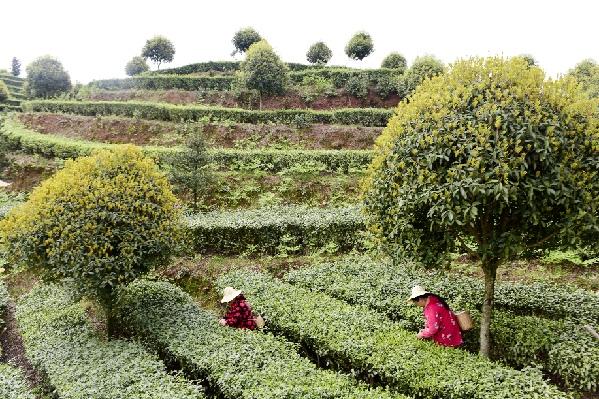 湖北恩施一茶企網絡直播制茶打開市場銷路