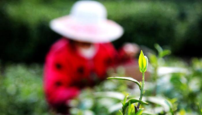 湖北:春日採茶忙