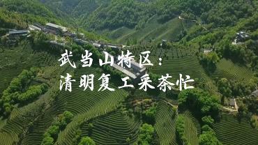 武當山特區:清明復工採茶忙