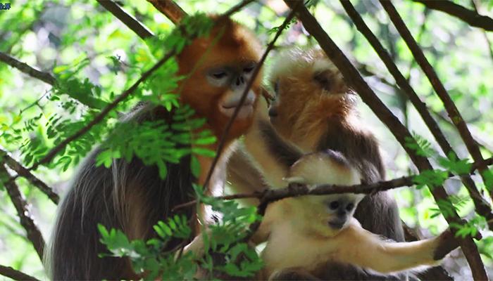 神農架夏日猴趣