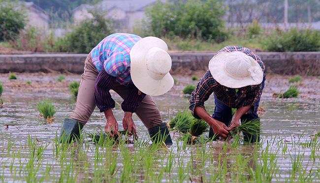 湖北鄖陽︰搶(qiang)抓農時忙插秧