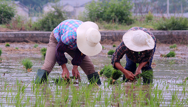 湖北(bei)鄖(yun)陽︰搶抓農(nong)時忙插秧