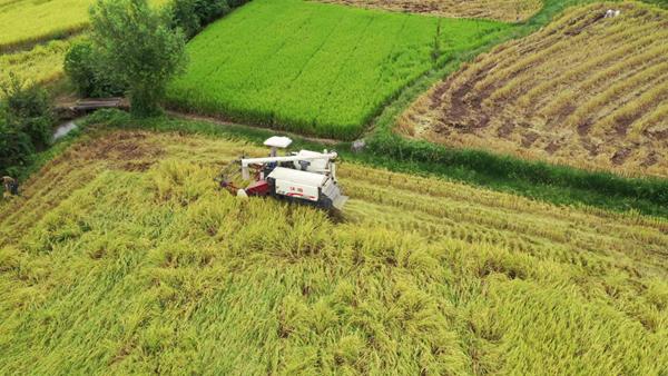 跟著無人機看搶收糧食 確保顆粒歸倉