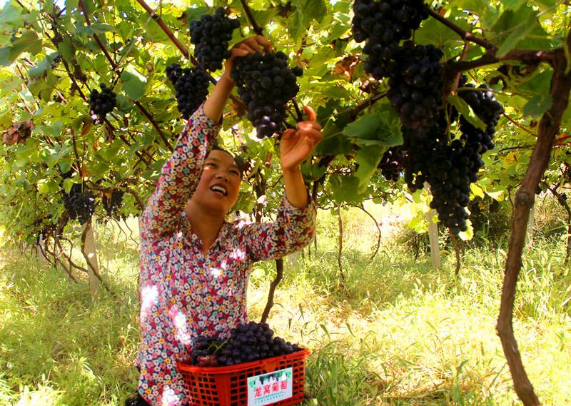 山野葡萄釀出甜蜜生活