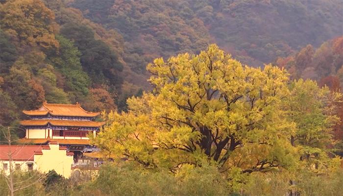 """【""""飛閱""""中國】千年銀杏樹顏值巔峰季節 就是現在"""