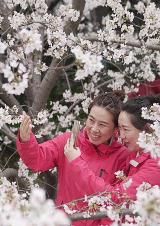 國社(she)觀荊楚(chu) 春回英雄(xiong)城 共赴櫻花(hua)約