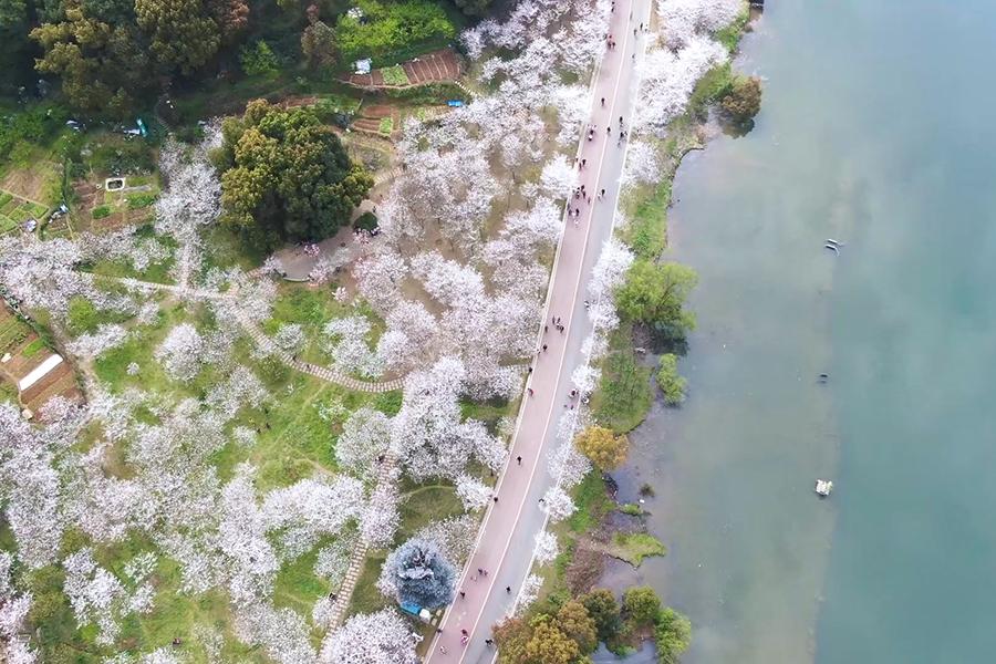 綠水青山(shan)襯(chen)櫻花(hua),快來這里帶走(zou)春天吧!