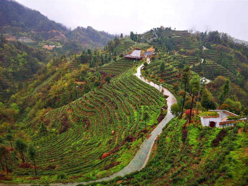 【櫻花又開放——疫後重振看湖北】三峽茶旅小鎮打造湖北宜昌茶旅融合亮麗名片