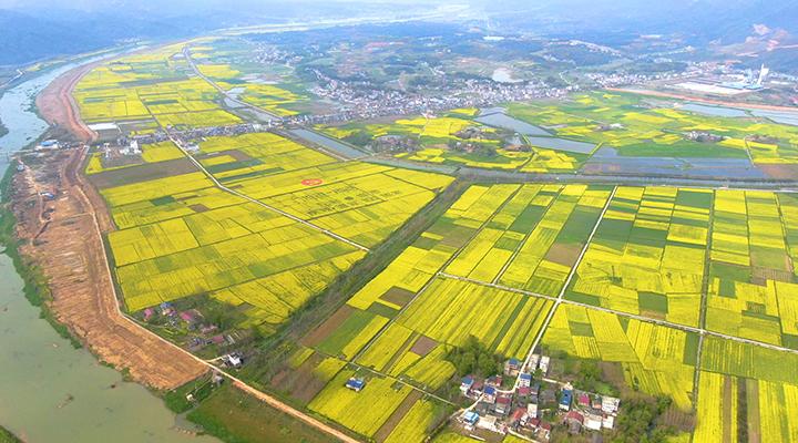 湖北陽新:萬畝油菜花如詩如畫