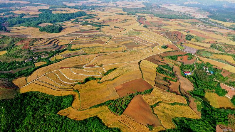 湖北丹江口:800畝金色麥浪慶豐收