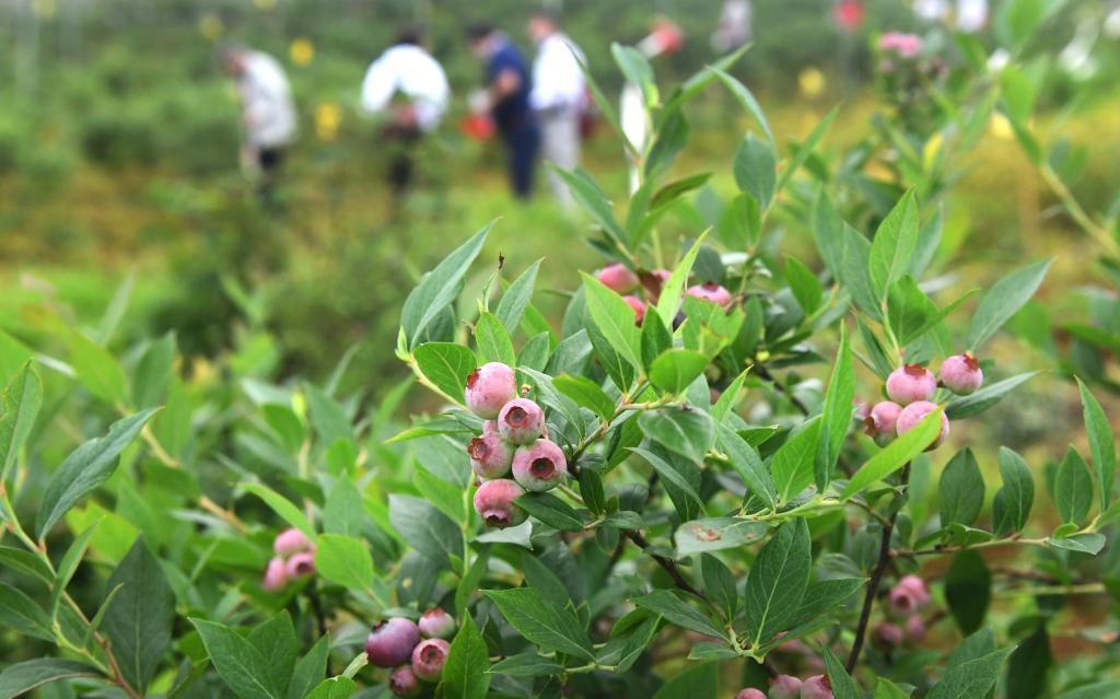 湖北鄂州:藍莓成熟上市