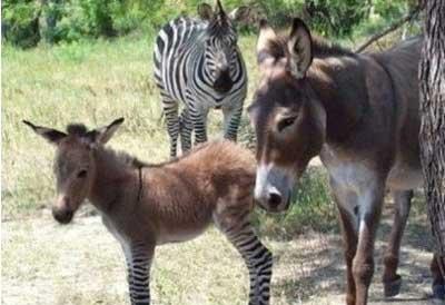 搜罗全球奇怪动物:斑马与驴产下斑驴