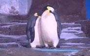 /武漢:企鵝館盡秀恩愛...