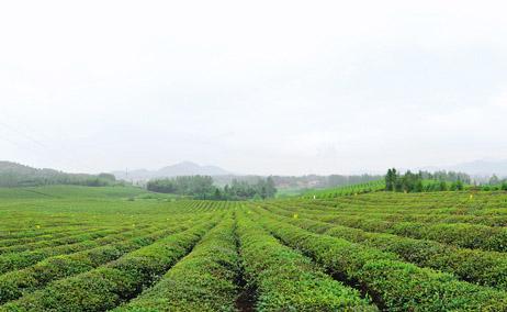 羊楼洞特供汉口茶叶的地方变成万亩生态茶园