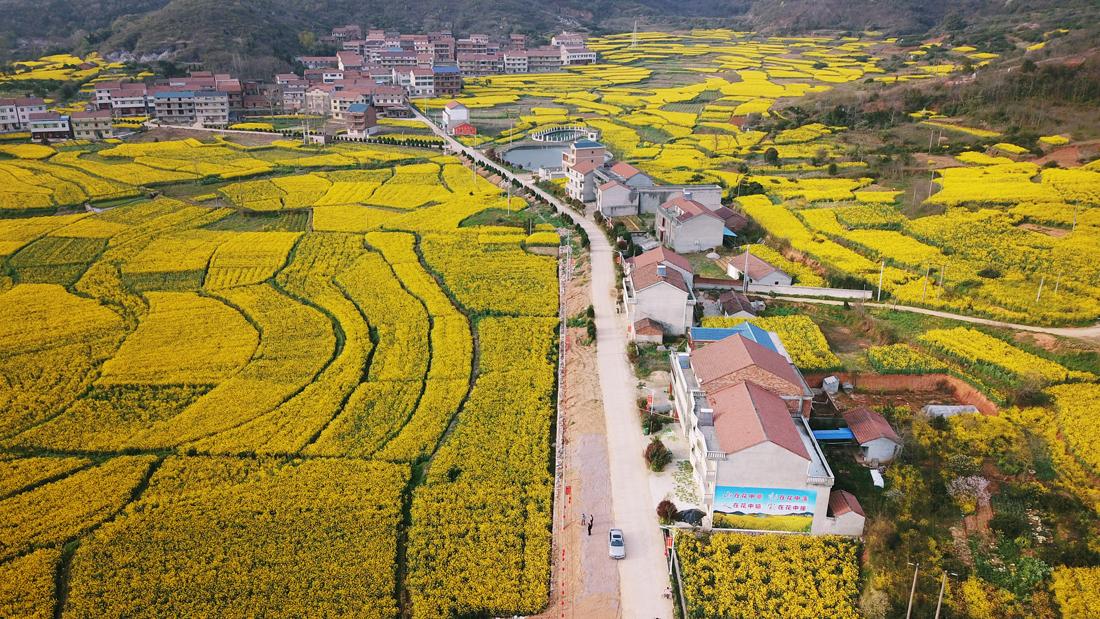 """武穴是湖北""""双低""""油菜种植示范大市,种植面积达45万亩,已形成了大规模集中化种植,极具有观赏性。(欧阳小洁 摄)"""