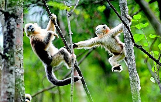 神农架新添7只金丝猴宝宝